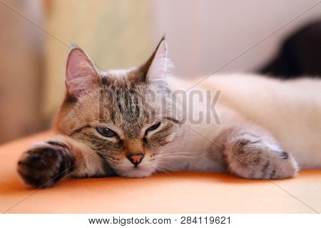 poster of Bored Cat Lying On The Bed At Home. Portrait Of A Young Light Beige Cat, Resting At Home. Sad Cat. T