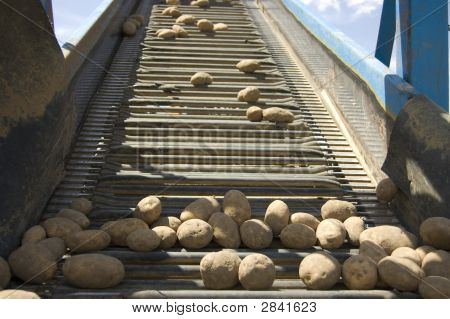 Conveyor Belt - Potato
