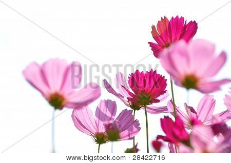Pink color daisies in grass field with white background
