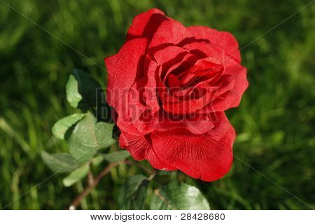 Red Rose on green grass
