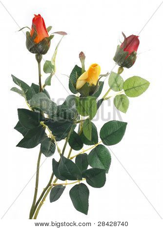 Beautiful roses on a white background