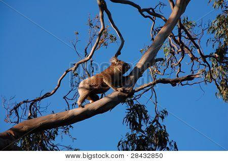 climbing koala in tree