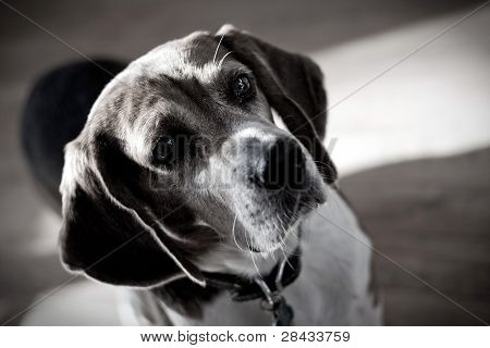 Dramatic Beagle Dog Portrait