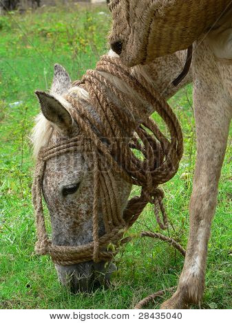Packhorse haitiano