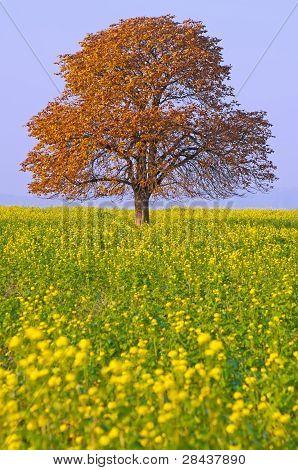 Chestnut Tree On A Field