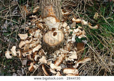 Beaver Carnage