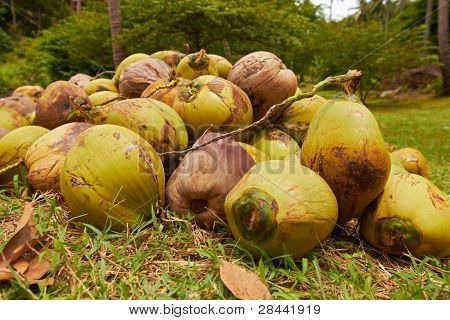 Heap of green coconuts in jungle forest