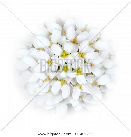 White Iberis Flower Head blending into the White