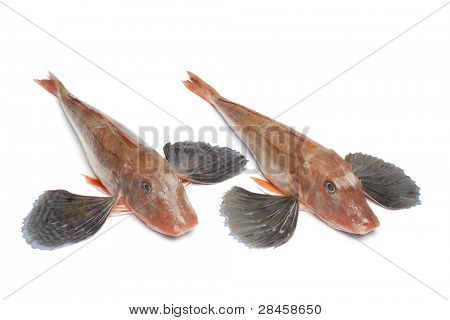 Red tub gurnard fishes with spread fins on white background
