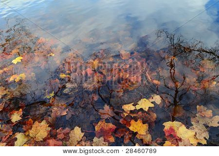 Dry Colored Maple Leaves In Water
