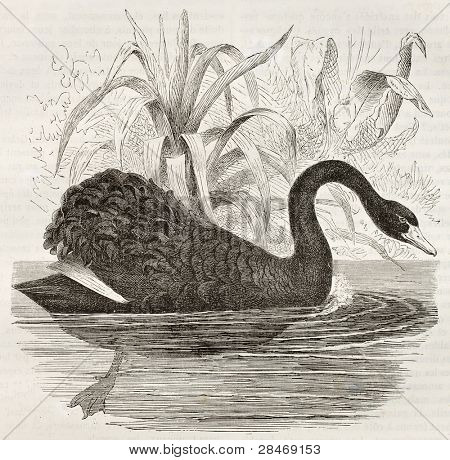 Black Swan old illustration (Cygnus atratus). Created by Kretschmer, published on Merveilles de la Nature, Bailliere et fils, Paris, ca. 1878