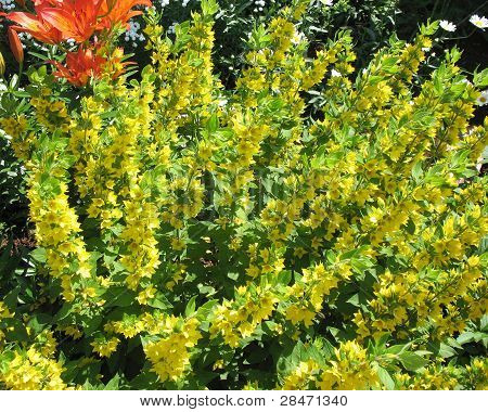 Blooming Point loosestrife (Lysimachia punctata)