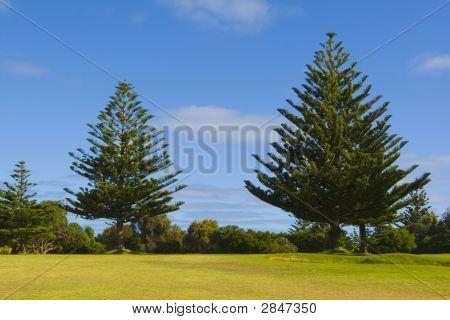 Northfolk Pines