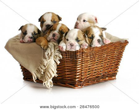 basket of puppies - english bulldog puppies in a wicker basket - 5 weeks old