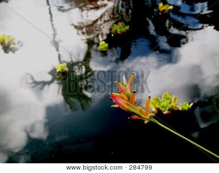 Paradiesvogel über Teich W Cloud Reflexion