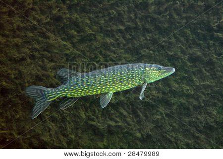 Underwater Photo Big Pike (Esox Lucius).