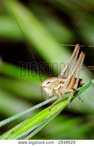 Young Bush Cricket
