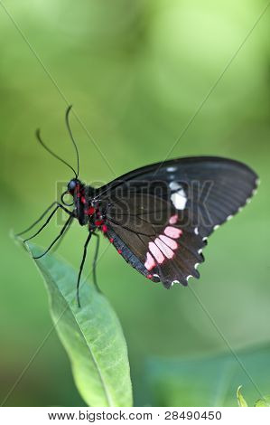 Central American Cattleheart Butterfly