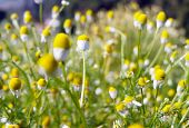 Matricaria Chamomilla (camomile, Wild Chamomile Or Scented Mayweed) In Bloom,aromatic Clusters Of Fl poster
