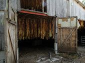 picture of tobacco barn  - Tobacco hanging to dry in old barn near Castelnau France - JPG