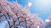 Magnificent  scene of cherry blossoms flower petals floating and blown in a spring breeze. Focus on  poster