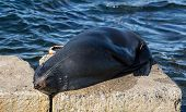 New Zealand Fur Seal, Arctocephalus Forsteri, Long-nosed Fur Seal Sleeping In The Sun On The Stone.  poster