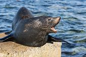 Close Up Portrait New Zealand Fur Seal, Arctocephalus Forsteri, Long-nosed Fur Seal Open Its Mouth I poster