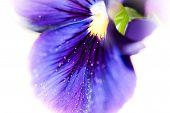 Macro Detail Of Violet Purple Viola Plant On Balcony Genus Of Flowering Plants In The Violet Family  poster