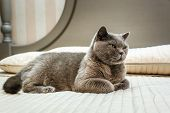 Purebred British Shorthair Blue Kitten On Bed In Expensive Interior poster