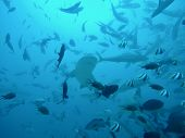 Shark Dive Off Beqa Island Fiji. Seven Sharks And Numerous Tropical Fish Are Visible In This Image F poster