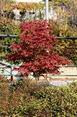 Japanese Red Maple Or Acer Palmatum Or Palmate Maple Or Smooth Japanese Maple Hardy Small Decorative poster