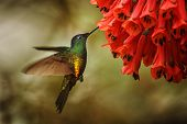 Golden-bellied Starfrontlet Hovering Next To Red Flower,tropical Forest, Colombia, Bird Sucking Nect poster