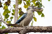 stock photo of blue winged kookaburra  - Blue - JPG