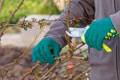 Female Farmer Look After The Garden. Spring Pruning Of Rose Bushes. Woman With Pruner Shears The Tip poster