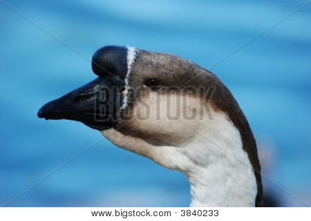Chinese Goose Portrait