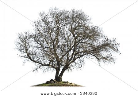 Leafless Ash  Tree Isolated On White
