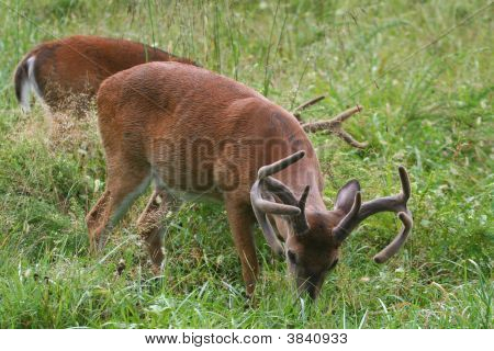 Young Buck White Tale Deer