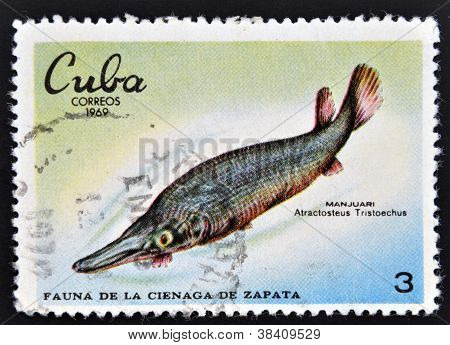 CUBA - CIRCA 1969: A stamp printed in cuba dedicated to fauna of the Zapata swamp shows manjuari cir