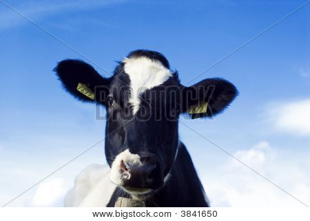Cute And Funny...A Cow!