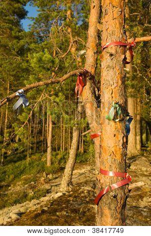 Wish Pine Tree