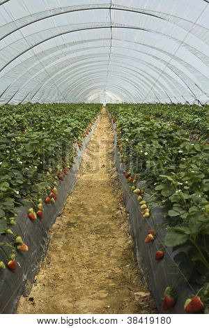 Strawberry Furrows