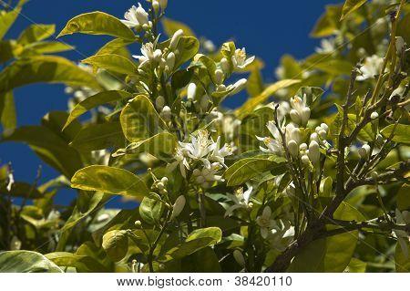 Lemon Florwers