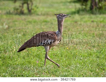 Kori Bustard Walking On Grass Plain