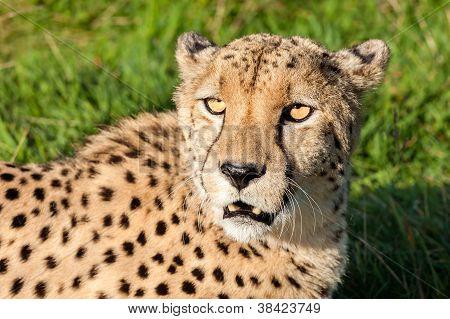 Head Shot Of Beautiful Cheetah In Afternoon Sun