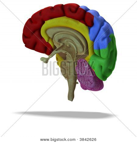 Profile / Section Of A Human Brain