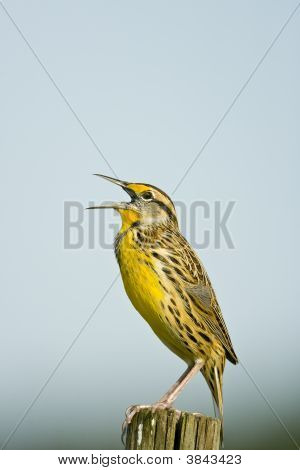 Meadowlark Calling From A Fence Post