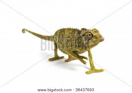 Jackson's Chameleon - Chamaeleo Jacksonii