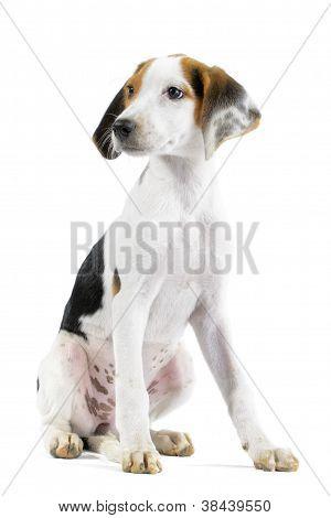 Hound Mix Puppy