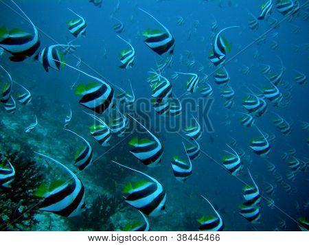 School Of Longfin Bannerfish