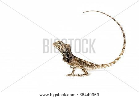 Frilled Dragon - Chlamydosaurus Kingii